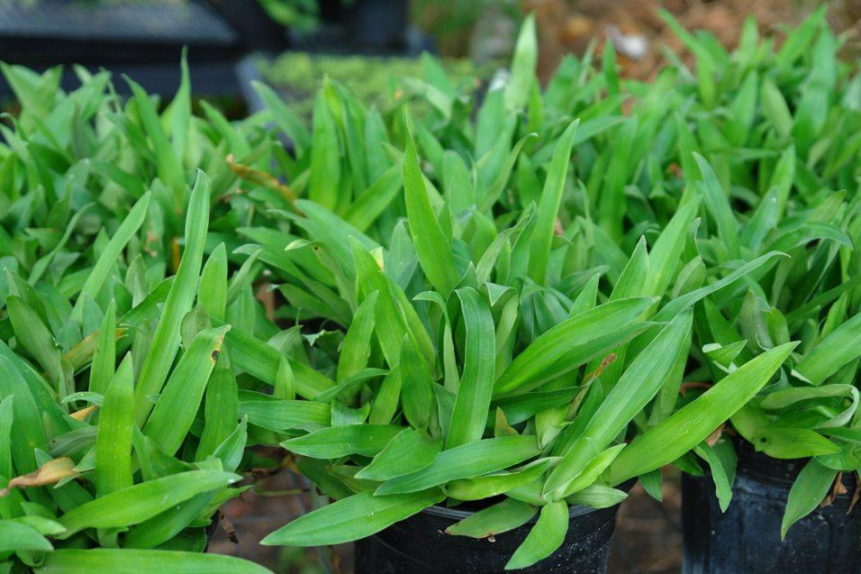 Afbeeldingsresultaat voor murdannia loriformis plant